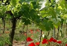 Le vignoble du Grand Fontanille