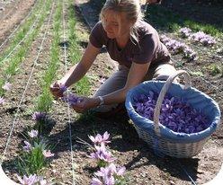Les plantations de crocus de la Font Saint Blaise poussent à l'état naturel, sans engrais, sans arrosage ni pesticides. De plus, les cultures sont désherbées à la main.