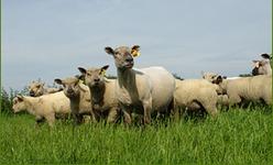 agneau Poitou Charentes