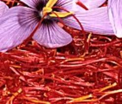 La fleur de Crocus Sativus, utilisée pour la fabrication du safran