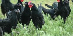 association pour la sauvegarde de la poule de Barbezieux