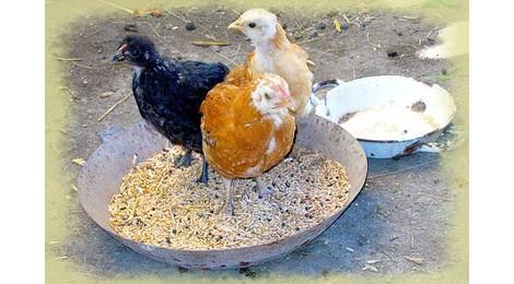 Poulet de ferme (tué et prêt à cuire)