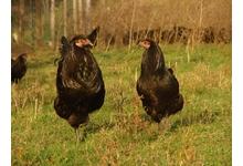poulet gascon