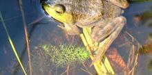 Cuisses de grenouille sautées au Kreung et au piment