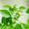 Granité au citron vert à la verveine et au basilic