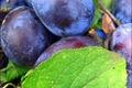 Compote de prunes en millefeuille