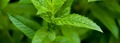 Poires pochées à la menthe poivrée de Milly La Forêt