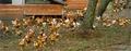 Foie gras et Canard fermier des Landes en carpaccio, cuit-cru d'Asperges des Sables des Landes à l'huile de noix et orange