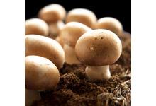 Le champignon de paris