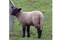 L'agneau de pré-salé de la baie du mont st michel