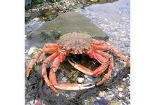 L'araignée de mer