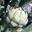 L'artichaut camus de bretagne