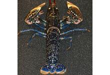 Le homard bleu breton