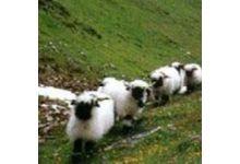 L'agneau d'alpage