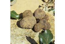 La truffe noire du tricastin