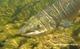 Le saumon de l'adour