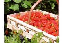 La fraise du Périgord
