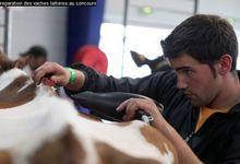 préparation des vaches pour le concours