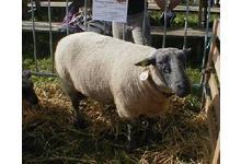 mouton bleu du Maine