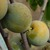 prunes de vars