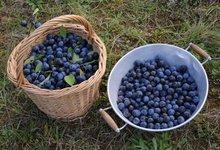 prune norberte