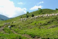 Etienne Lay, agneaux de Haute Bigorre