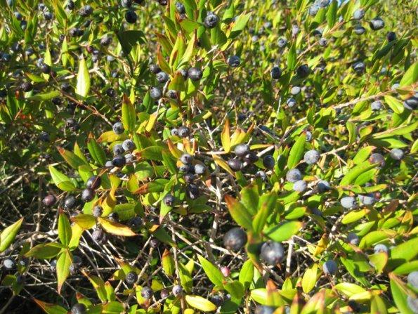 Le myrte for Myrte arbuste