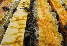 abeilles dans la ruche