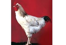 poulet du Bourbonnais