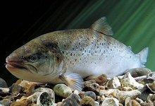 saumon de l'Allier