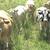 vaches blondes d'Aquitaine