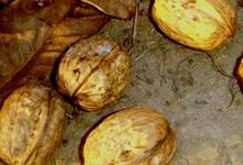 La noix du Quercy