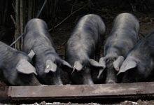 GONZALES Thibault, porc gascon