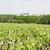 Vignes-en-bordure-d-estuaire