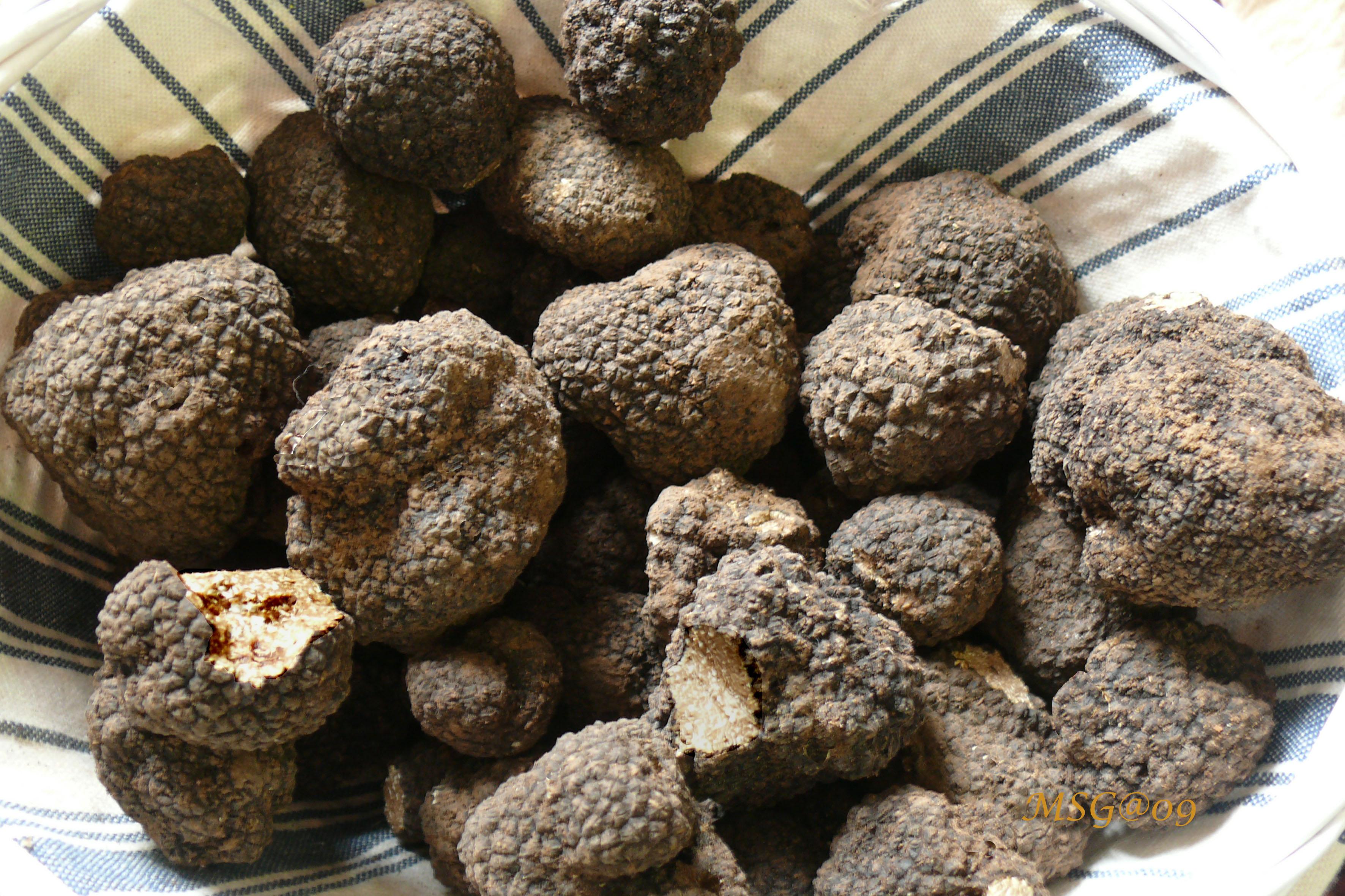 La truffe de bourgogne - Culture de la truffe ...