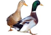 canard de Rouen
