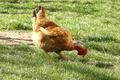 Poulets prêts à cuire