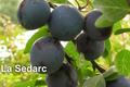 Coopérative arboricole : les pruneaux Bellu Sole. La Sedarc