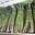 Bottes d'asperges vertes