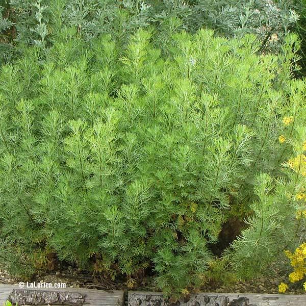 Aurone arquebuse les plantes de la lorien les plantes de la lorien - Planter de la verveine ...