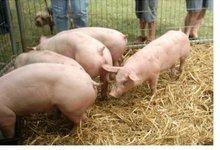 Fete Des Cochons De Crepy 2012