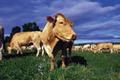 EARL des Hêtres, viande bovine