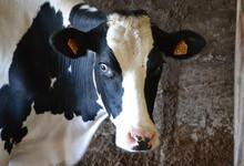 EARL Le Cosquer, lait cru