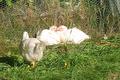 poulet fermier