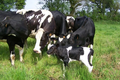 Lait de vache bio