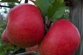 Pomme Red Topaz