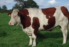 La ferme de Kerfloch, viande bovine