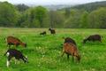ferme de Kerlocazo, fromages de chèvres