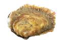 Huîtres plates de la Rade de Brest