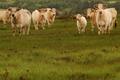 Les Landes Celtes - viande bovine Charolaise